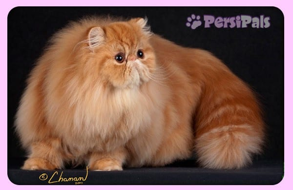 Persipals Sparks Fly Regional Winning Persian Cat