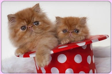 Persipals Cattery Persian Kittens in Los Angeles